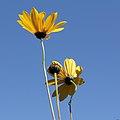 Asteraceae sp.-IMG 5580.jpg