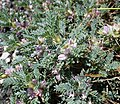 Astragalus siculus Etna.jpg