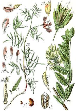 Astragalus spp Sturm22.jpg