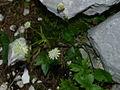 Astrantia bavarica, Pod Rjavino 392.jpg