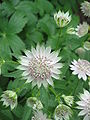 Astrantia major04.jpg