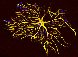 Astrocyte star-shaped glial cells in the brain and spinal cord