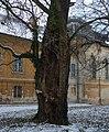Aszód, Podmaniczky Palace. Old tree.jpg