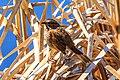 At Isobel lake…sparrow (8728256606).jpg
