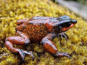 Guajira stubfoot toad - Image: Atelopus carrikeri 01