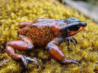 Guajira stubfoot toad