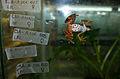Atelopus certus inside rescue pod.jpg