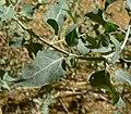 Atriplex lentiformis 2.jpg