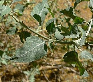 <i>Atriplex lentiformis</i> species of plant