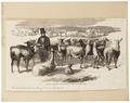 Auchenia lama - 1700-1880 - Print - Iconographia Zoologica - Special Collections University of Amsterdam - UBA01 IZ21600095.tif