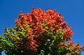 AutumnMapleLeaves3.jpg