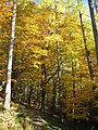 Autumn Beech and Larch - geograph.org.uk - 597217.jpg