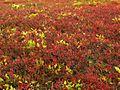 Autumn Huckleberries (5037763685).jpg