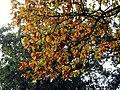 Autumn Oak Leaves - geograph.org.uk - 584802.jpg