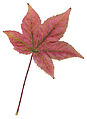 Autumn Sweet Gum Leaf.jpg