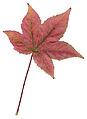 Autumn Sweet Gum Leaf.jpg