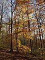 Autumn leaves, Hembury Woods - geograph.org.uk - 1056598.jpg