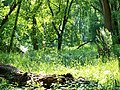 Auwald in den Donau-Auen 21.JPG
