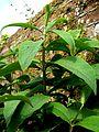 B. macrostachya foliage 2.jpg