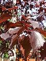 B. pubescens f. rubra.jpg