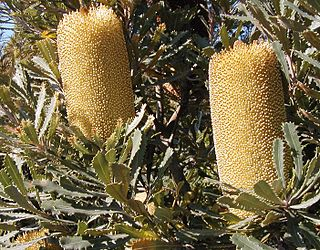 <i>Banksia media</i> Species of shrub in the genus Banksia native to Western Australia