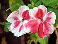 Balsam flowers 4.JPG