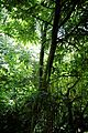 Bamboo in trees at Nuthurst, West Sussex, England.jpg