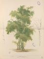 Bambusa bambos Blanco1.100b-original.png