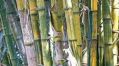 240px bambusa vulgaris (533070367)