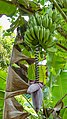 Banana tree with fruit and flower (32714142414).jpg