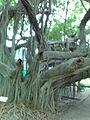 Banian en la Quinta de San Pedro Alejandrino.jpg