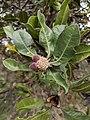 Banksia ilicifolia fruits.jpg