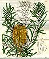 Banksia littoralis.jpg