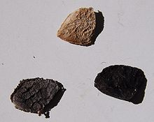 three triangular or wedge-shaped large seeds on a grey background