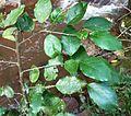 Baphia racemosa, loof, Krantzkloof NR.jpg