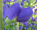 Baptisia australis - false blue indigo - desc-flower side view.jpg