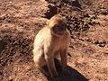 Barbary macaque in Morocco.jpg