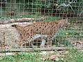 Barcelona-Zoo-Lince europeo (Lynx lynx).jpg