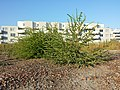 Bassia scoparia subsp. densiflora sl32.jpg