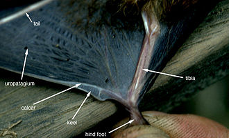 Calcar - A picture illustrating the location of the calcar on a bat.