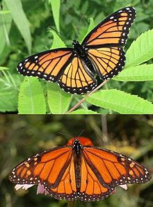 Viceroy and monarch butterflies illustrate Mullerian mimicry