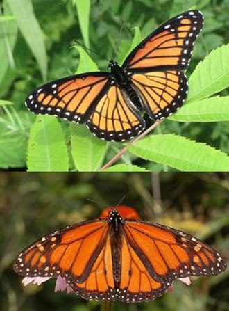Müllerian mimicry - The viceroy butterfly (top) appears very similar to the noxious-tasting monarch butterfly (bottom). Although it was for a long time purported to be an example of Batesian mimicry, the viceroy has recently been discovered to be actually just as unpalatable as the monarch, making this a case of Müllerian mimicry.