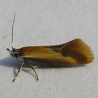 <i>Batia lunaris</i> species of insect