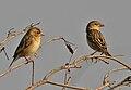 Baya Weaver (Ploceus philippinus) W IMG 4914.jpg
