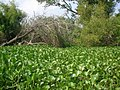 Bayou choked off with water hyacinth - panoramio.jpg