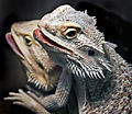 Bearded dragons (7762277788).jpg