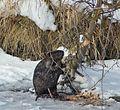Beaver chooses a tree (30987444894).jpg
