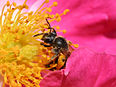 Image: Bee pollenating a rose.jpg (row: 6 column: 12 )