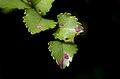 Beech leaves. (11285907534).jpg