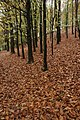 Beech trees, Wyre Forest - geograph.org.uk - 1035207.jpg